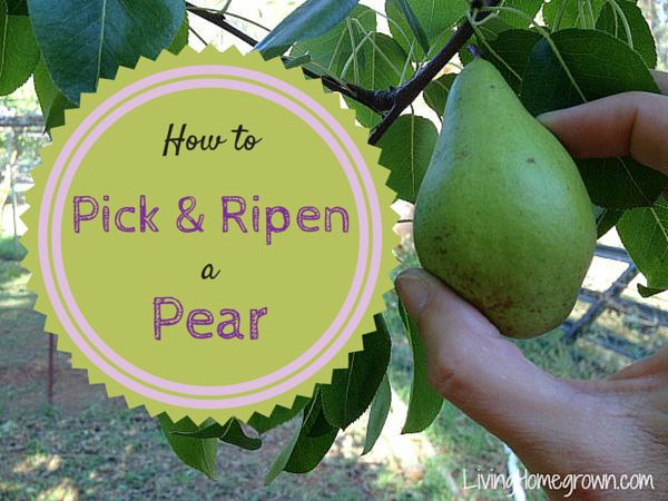 How To Pick Ripen A Pear